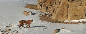 Amur Tiger. Photograph: Toshiji Fukada