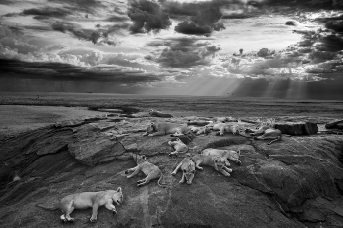 2014 Wildlife photographer of the Year overall and black and white category winner: The last great picture by Michael 'Nick' Nichols (USA) showing five female lions at rest with their cubs in Tanzania's Serengeti national park. Photograph: Michael Nichols/2014 WPY