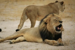 150728-zimbabwe-cecil-lion-134p_55c094666ae564d69bafafcbba0d4b53.nbcnews-fp-1200-800