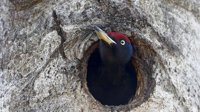 A woodpecker looks out of a hollow in a tree in the 19-mile exclusion zone around the Chernobyl nuclear site near the abandoned village of Babchin, Belarus. Wildlife has taken over the territory once occupied by humans.  Photograph: Vasily Fedosenko/Reuters